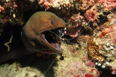 Boxer Shrimp & Moray Eel Maldives