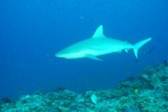 Grey Reef Shark - Maldives